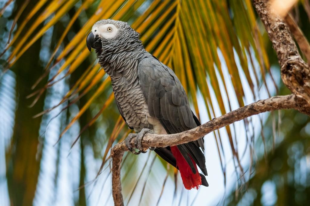 Африканские серые Попугаи