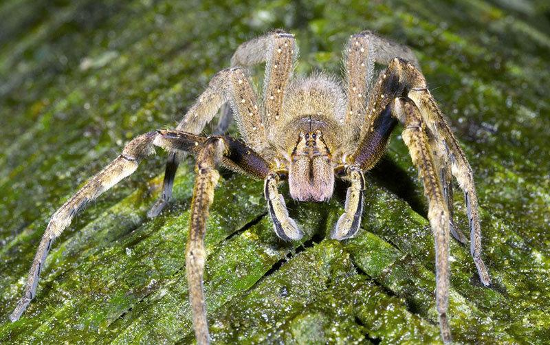 бразильского блуждающего паука