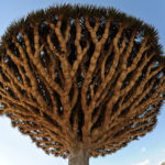 Дерево Dragon Blood Tree