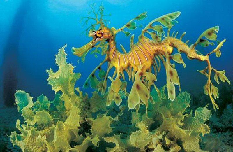 Лиственный морской дракон или морской пегас