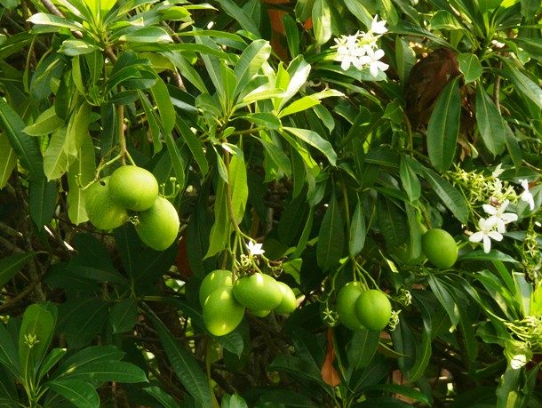 Цербера (дерево самоубийства)