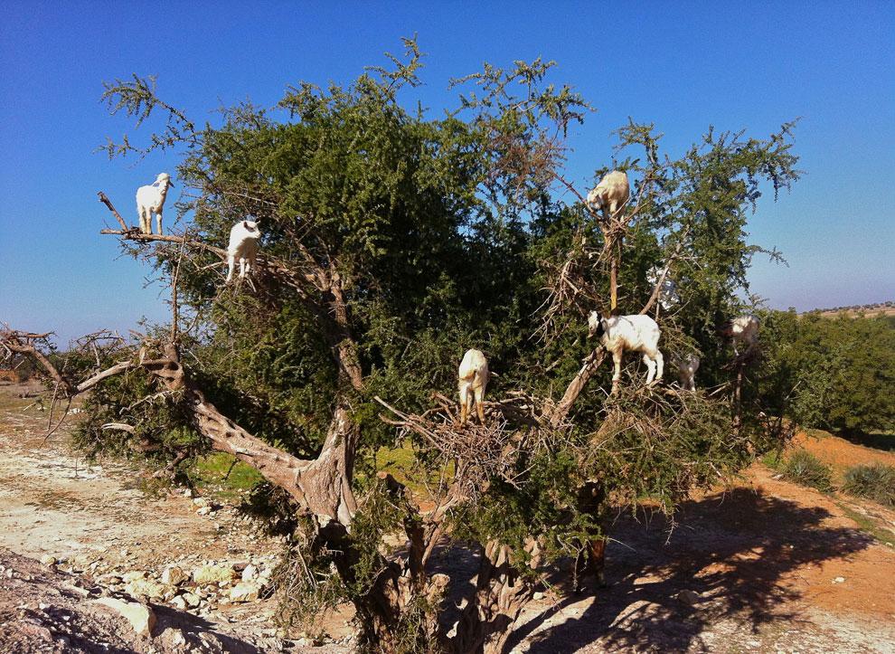 козы, котрые лазают по деревьям