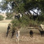 Козы, которые лазают по деревьям