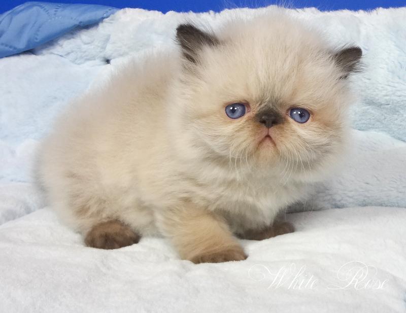 Гималайская Персидская Кошка