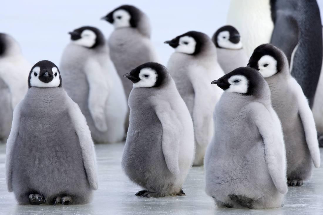 Детеныши Королевского Пингвина