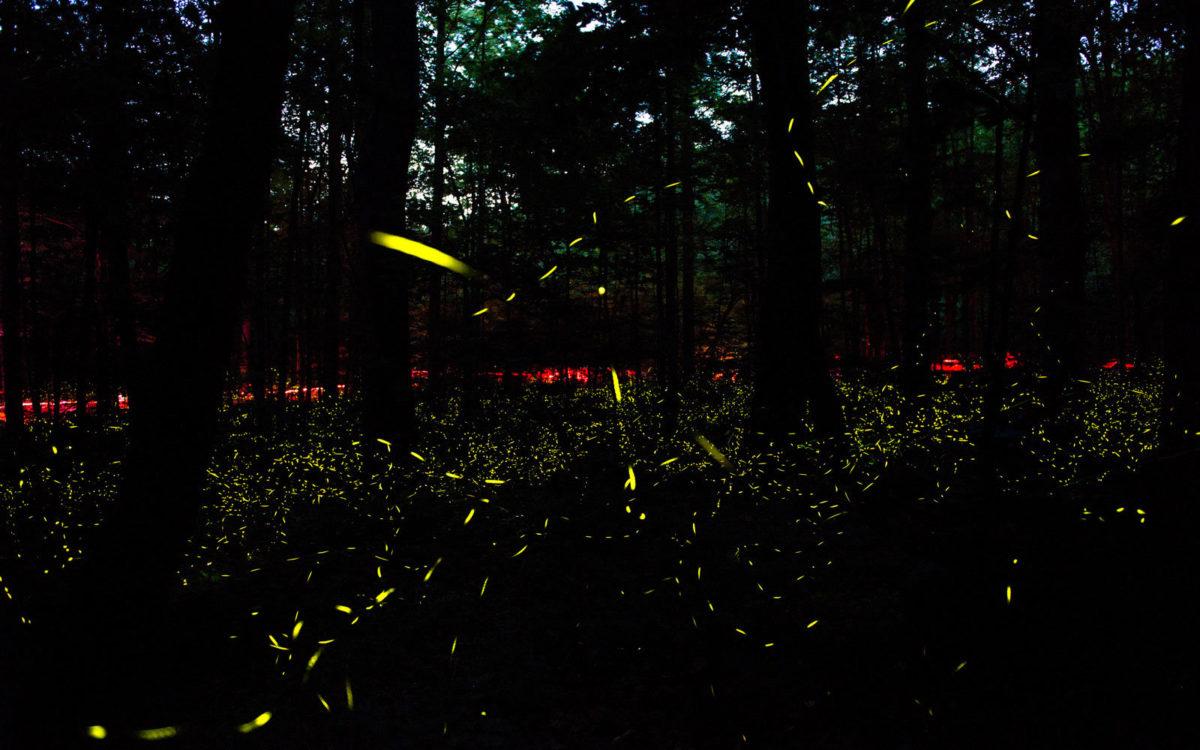 Синхронные Светлячки, Большой Южный Форк, Теннесси