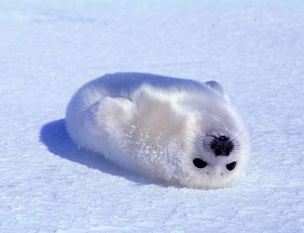 детеныш пушистого гренландского тюленя