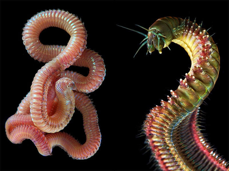 Thermo-tolerant Worms
