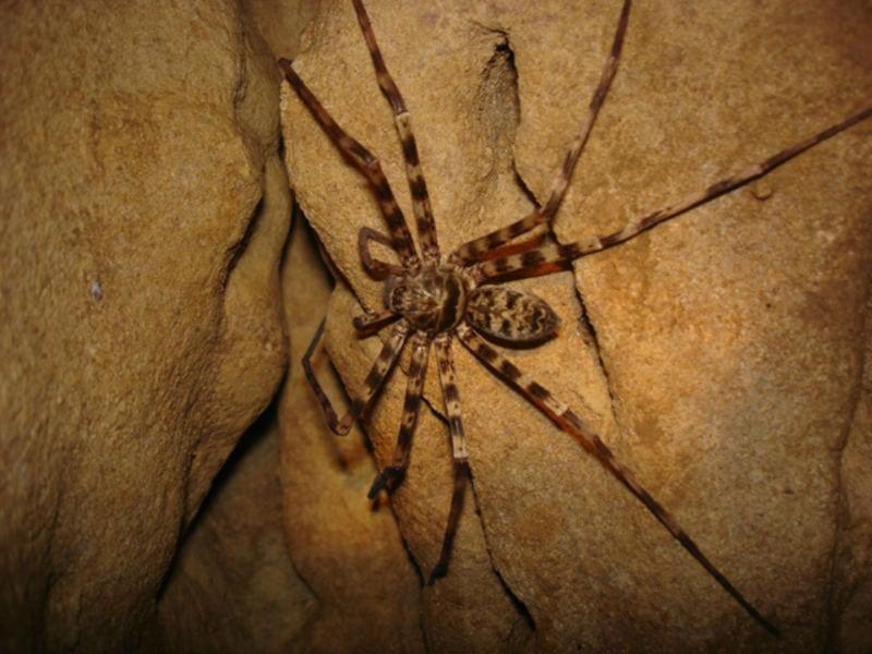 Большой паук-охотник