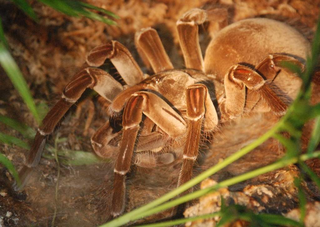 Голиаф-птицеед паук