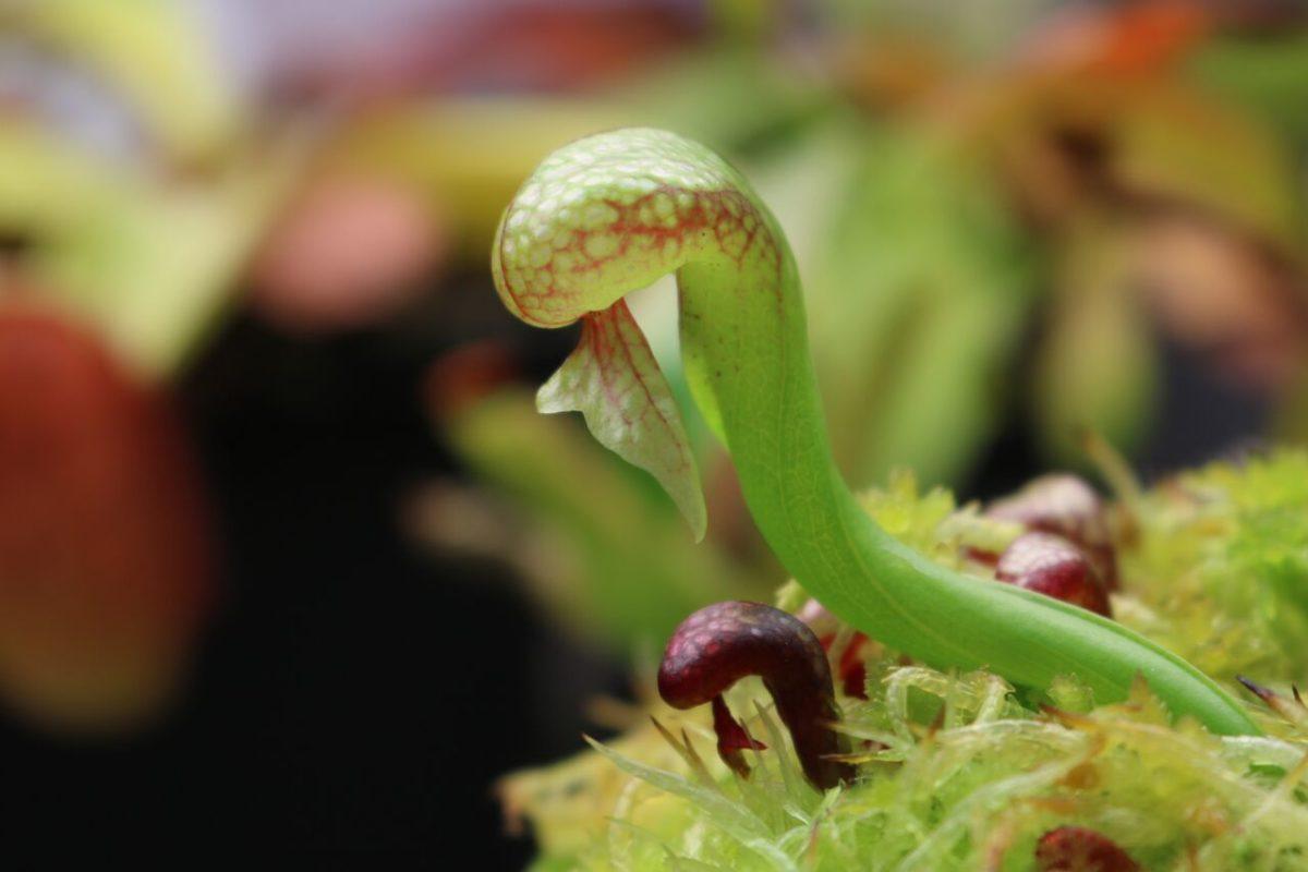 Дарлингтония (Лилия кобры)