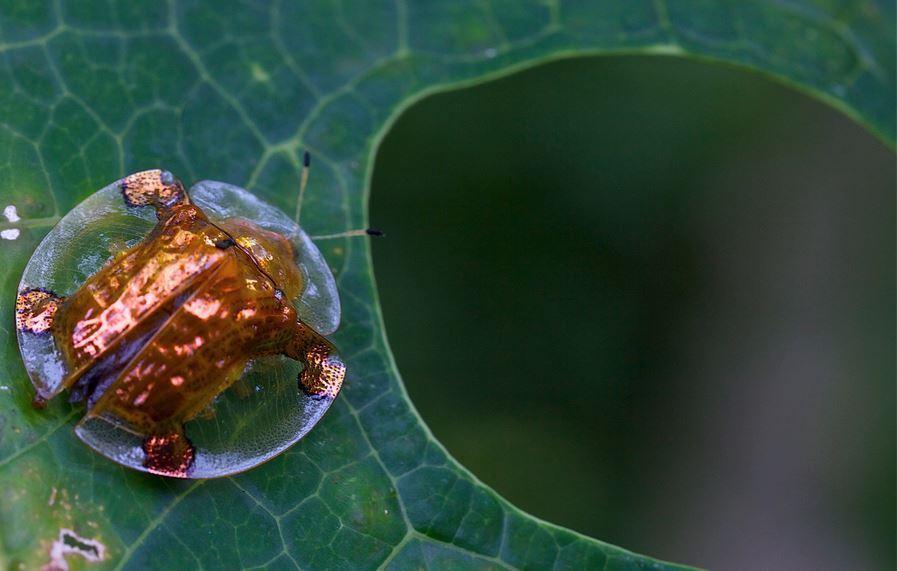 Жук-черепаха