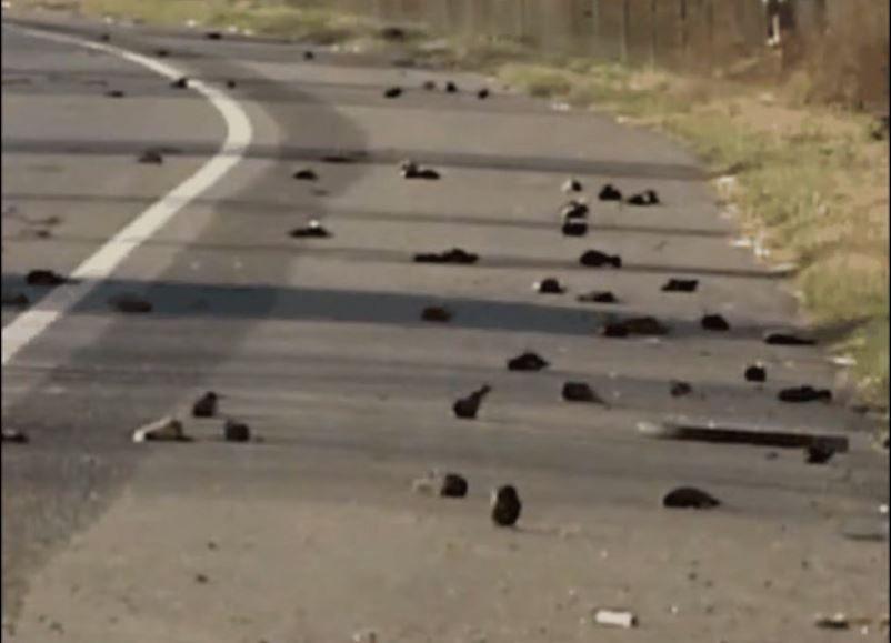 Мертвые черные дрозды падают с ночного неба в Бибе