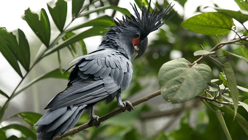 Пальмовый Какаду