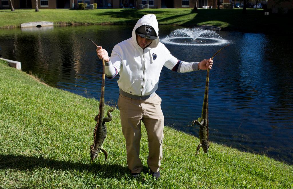 замороженные игуаны падают с деревьев во Флориде