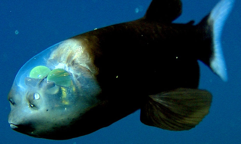 Barreleye Рыба