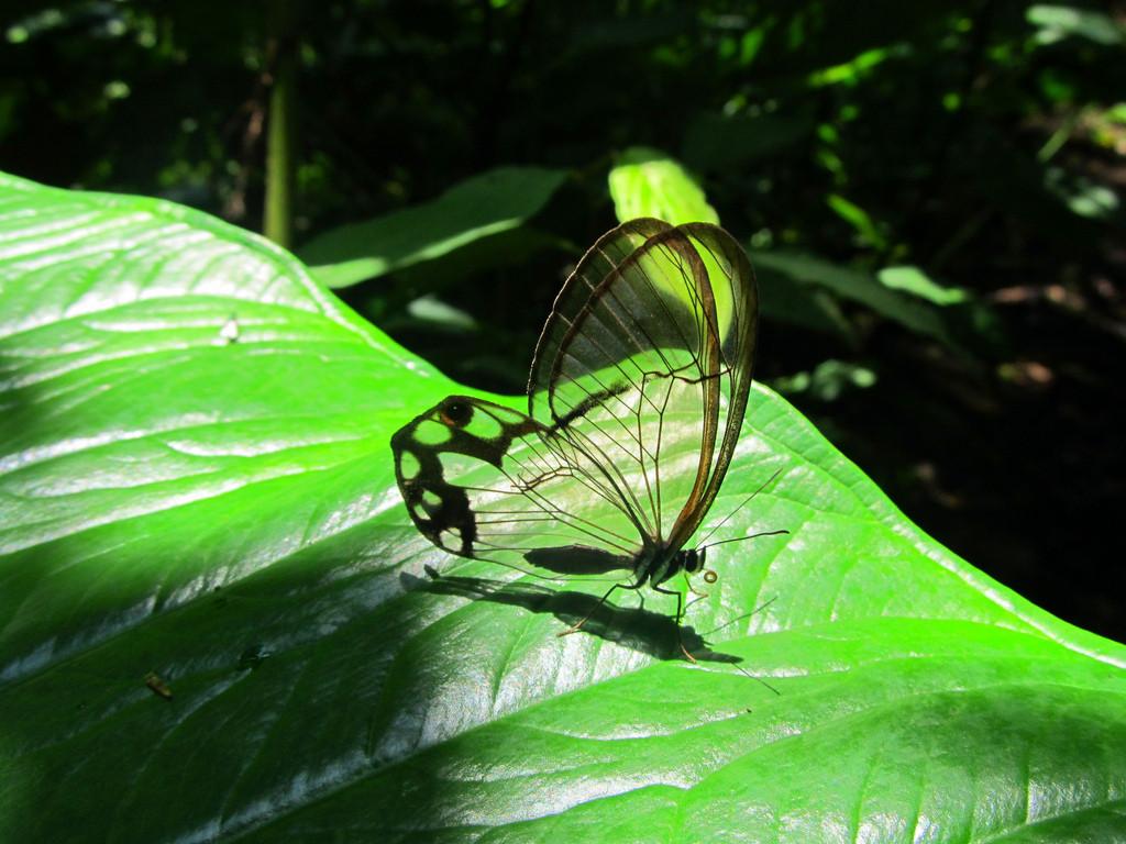 Glasswing Бабочка
