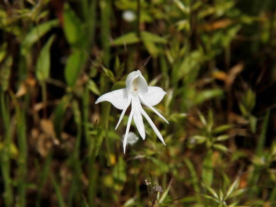 Ангел Орхидея (Habenaria Grandifloriformis)