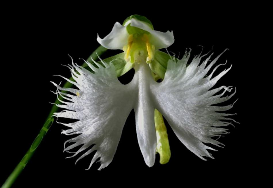 Белая Цапля Орхидея (Habenaria Radiata)