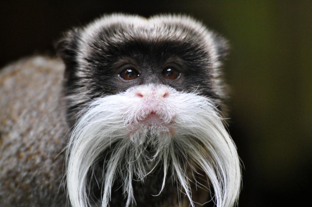 Бородатый император тамарин