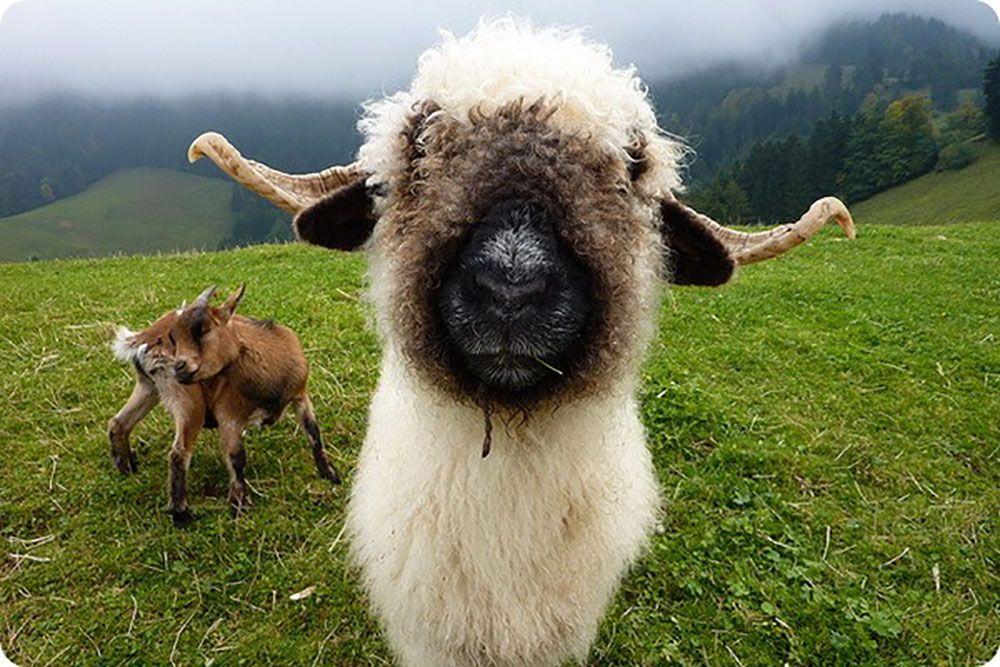 Валлисская черноносая овца