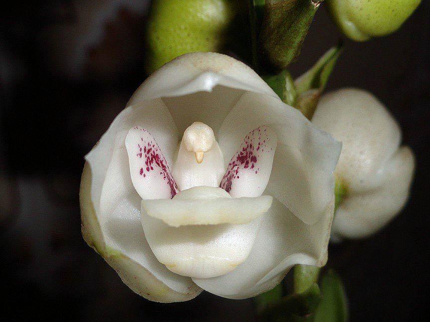 Голубь Орхидея или Орхидея Святого Духа