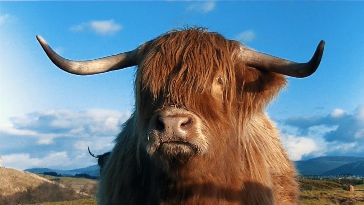 Крупный рогатый скот-Шотландия