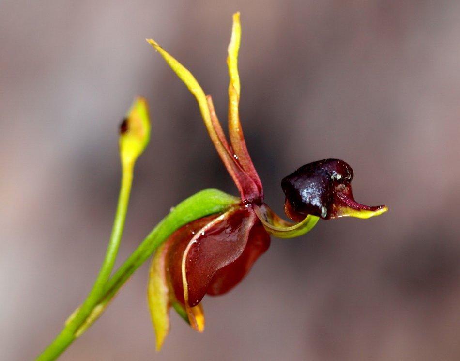 Летающие Утки Орхидеи