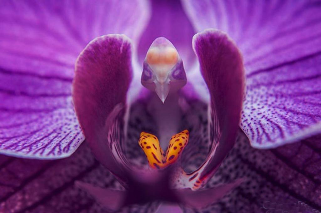 Мотылек Орхидеи (Фаленопсис)