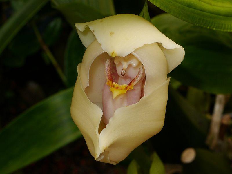 Орхидея Младенец в пеленке