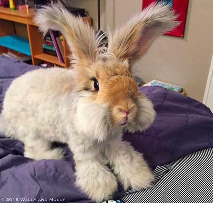 Уолли-кролик