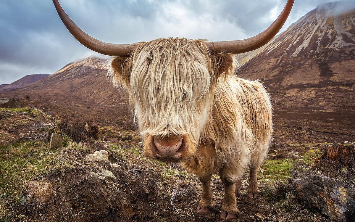 Шотландская порода крупного рогатого скота Highland cattle
