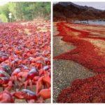 Странный ритуал миграции 50 миллионов красных крабов на острове Рождества