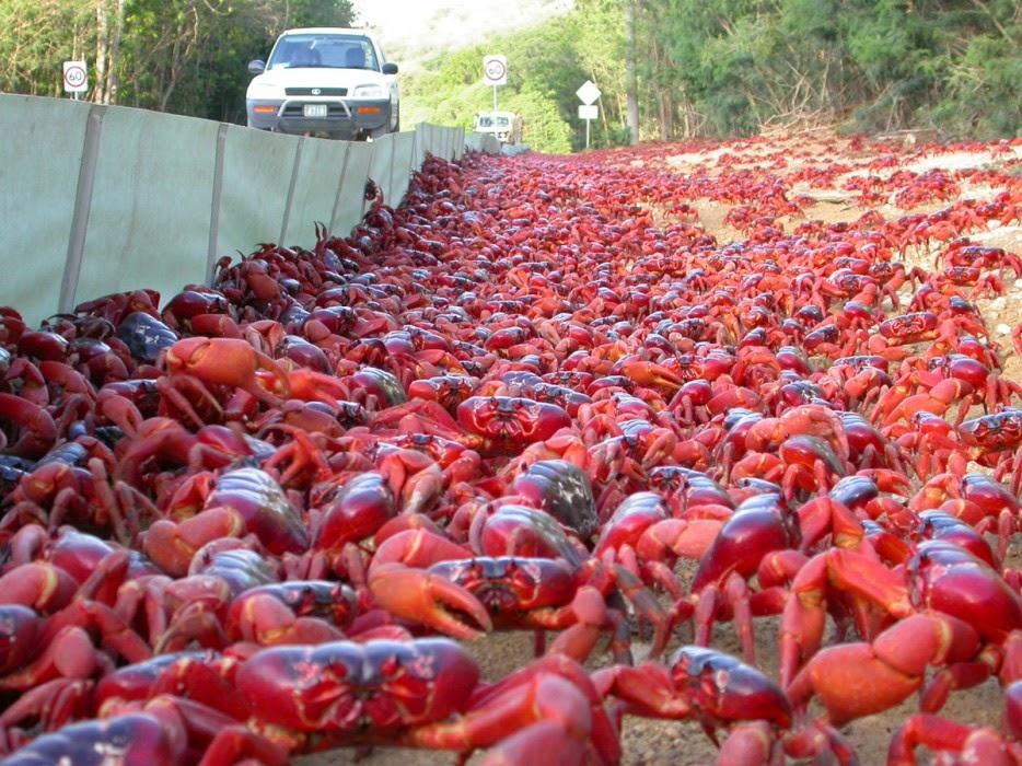 Red crab migration, Christmas Island
