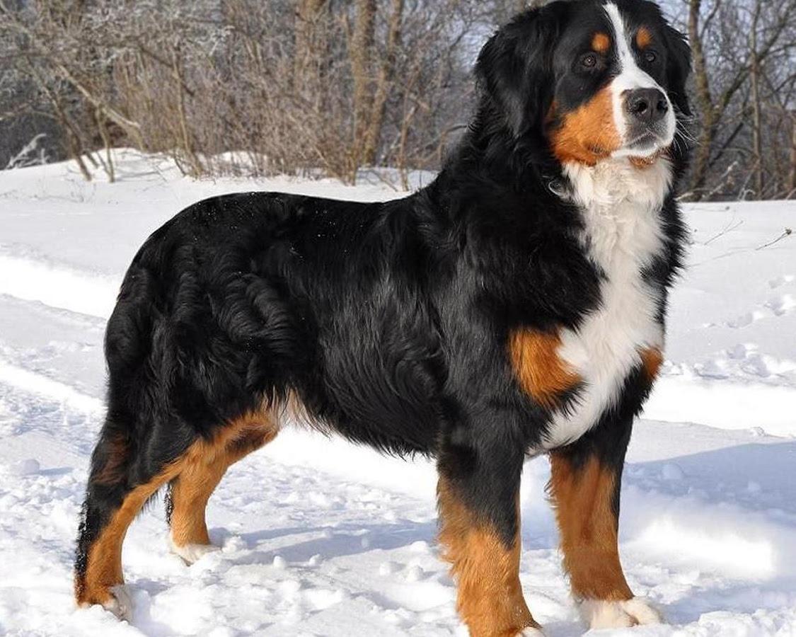 Большая Швейцарская Горная Собака