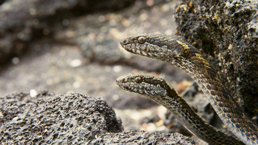 Маленькие змеи на Галапагосских островах.