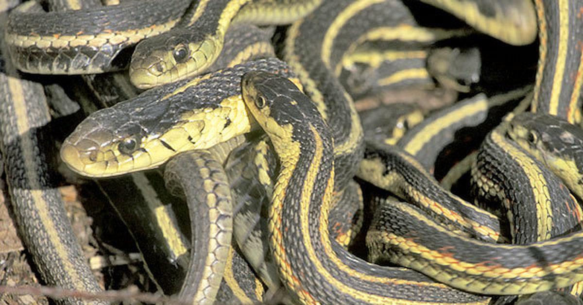 Подвязочные Змеи