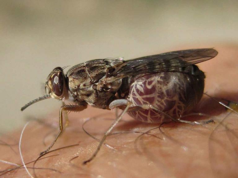 муха Це-Це
