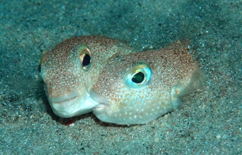 рыбы-фугу