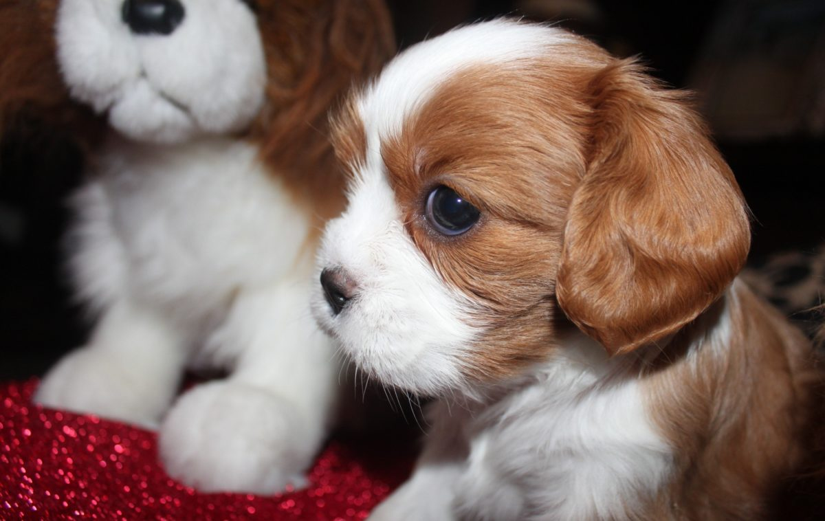 собаки миниатюрных пород