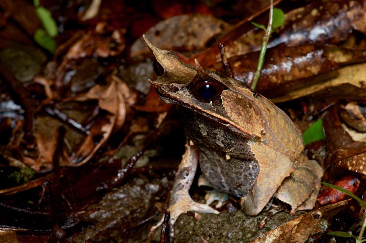 Носатая лягушка Борнео