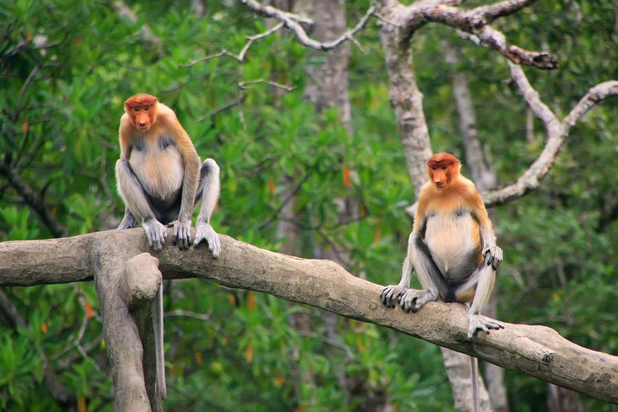 обезьяны-хоботки