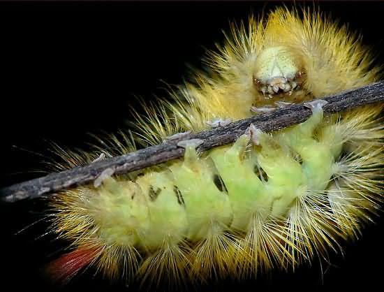 Гусеницы Dasychira Pudibunda