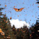 Мексика: Миграция бабочек-монархов