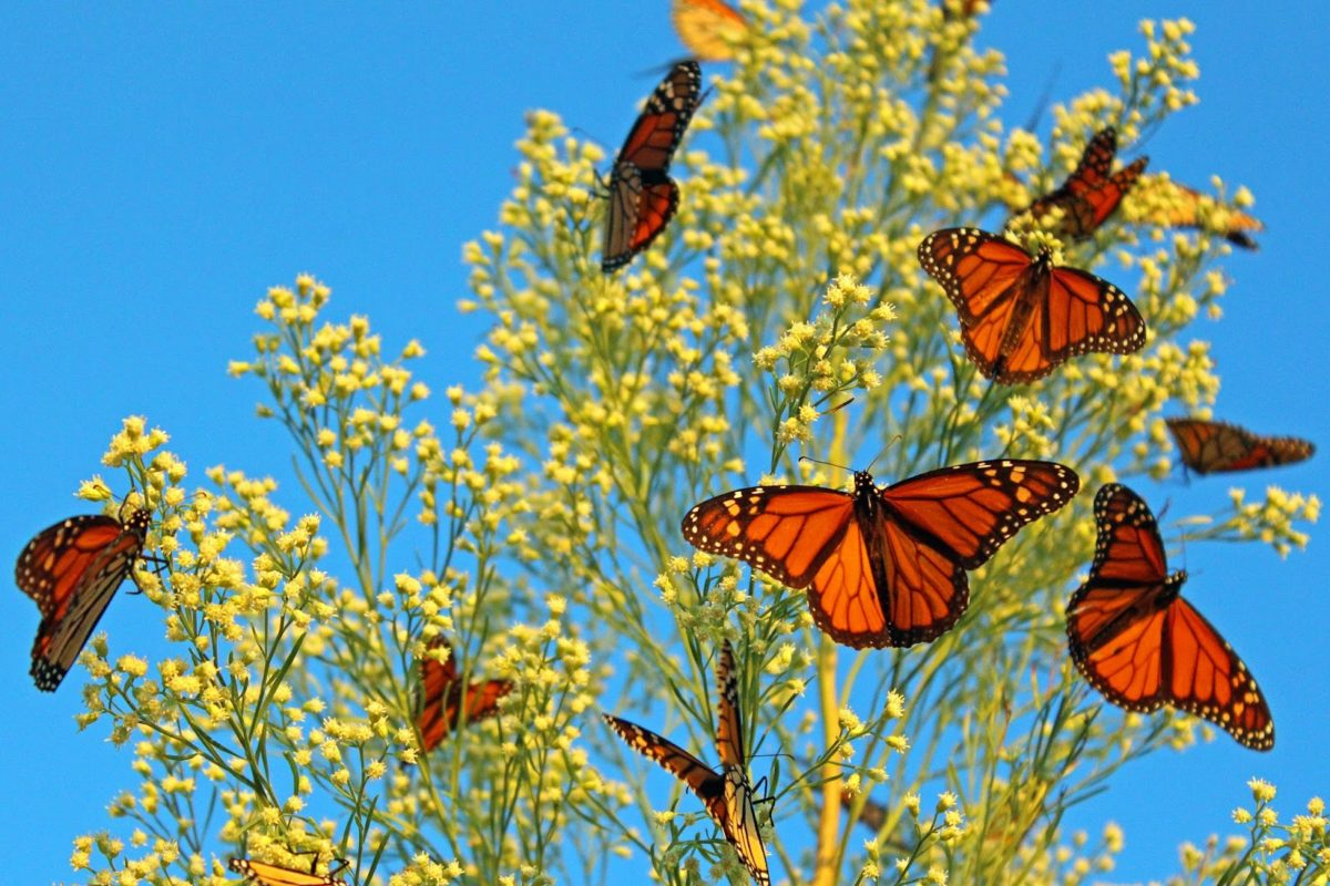 Миграция бабочек-монархов