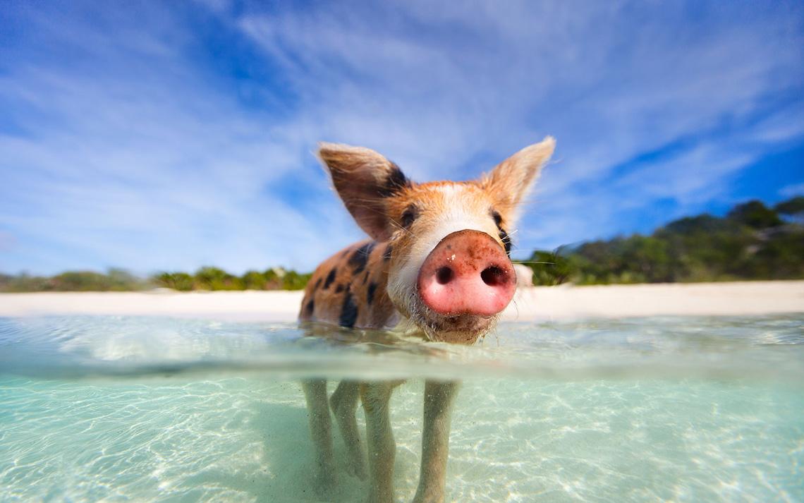 Остров плавающих свинок на Багамах