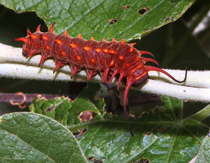 Pipevine Махаон (Ласточкин хвост) Гусеница