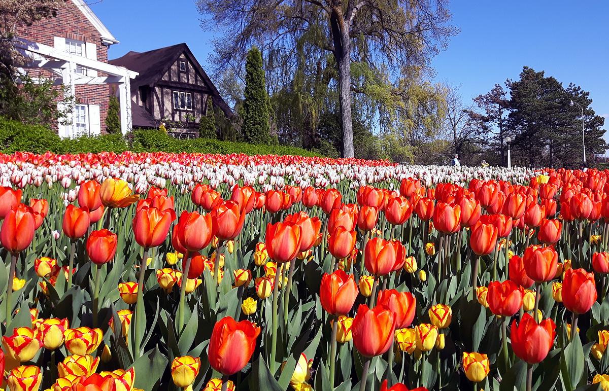 Канадский Фестиваль Тюльпанов В Оттаве – Канада