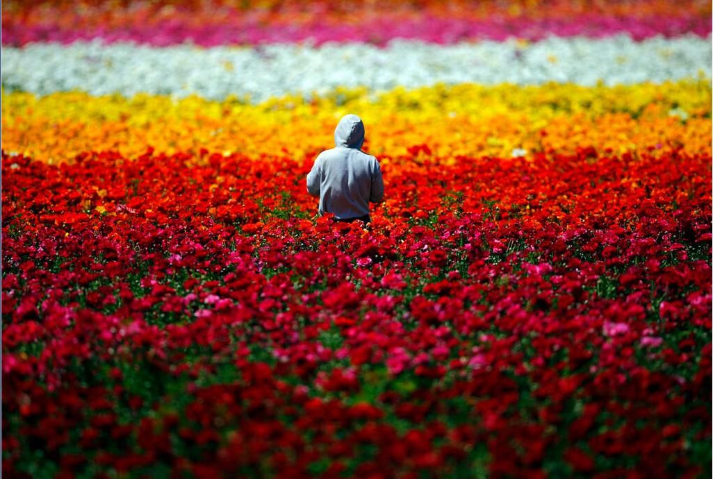 Карлсбадские цветочные поля, Лос-Анджелес-США