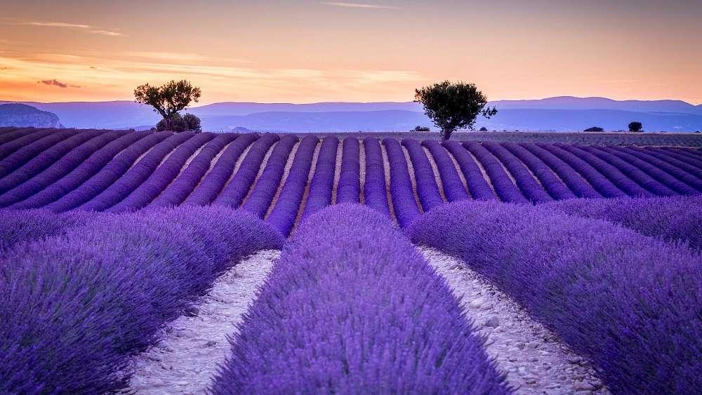 Лавандовые Поля, Прованс – Франция